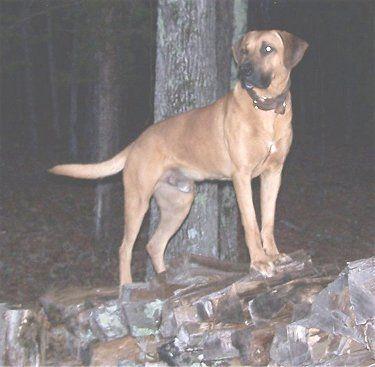 Black Mouth Cur Photo Black Mouth Cur Black Mouth Cur Dog Dog Breeds Pictures