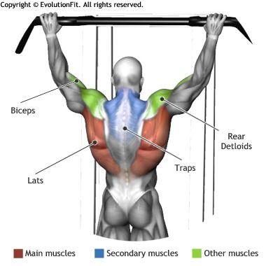 lats - pullups … | pinteres…, Human Body