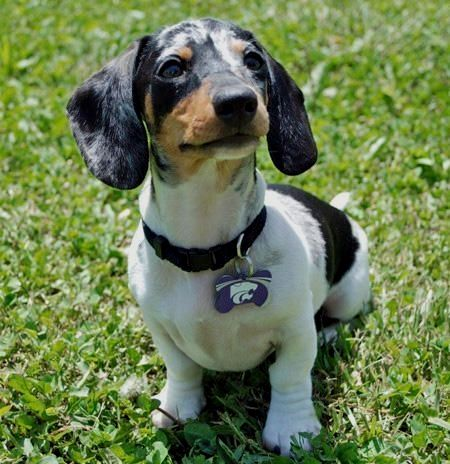 Pin By Lisa Coulter On Photos Dogs Dachshund Breed Dachshund