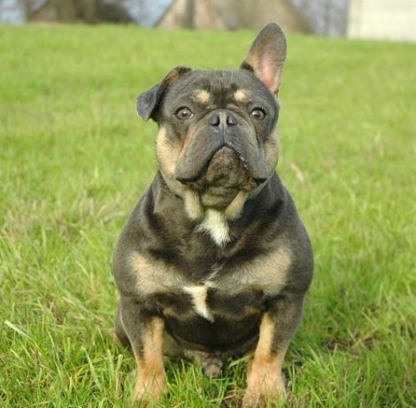 French Bulldog Puppy For Sale In Millville Ma Adn 70614 On Puppyfinder Com Gender Male Age 1 Year Old Bulldog Puppies Bulldog Puppies For Sale French Bulldog