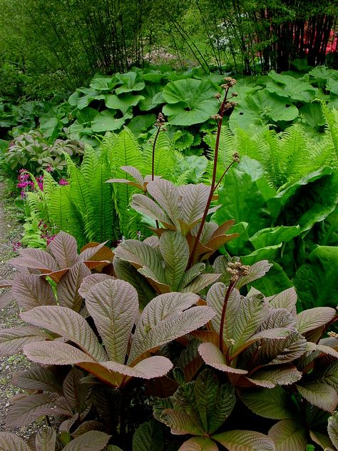 Rodgersia 'Chocolate Wings'   by KarlGercens ---shady areas covered