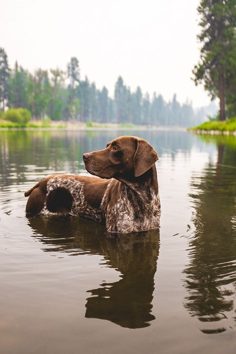 Everything I love about the Enthusiastic German Shorthaired Pointer Puppies Pointer Puppies, Pointer Dog, Dogs And Puppies, I Love Dogs, Cute Dogs, Fun Dog, Photo Animaliere, German Shorthaired Pointer, Tier Fotos