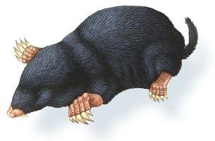حيوان الخلد منتدى اسلامي مفيد Black Bear Animals Bear