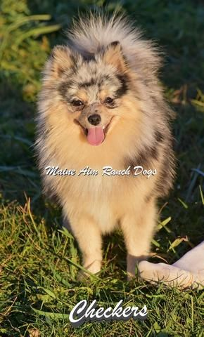 Pomsky Breeders Puppies For Sale In Wanye County Iowa Maine Aim Ranch Dogs Pomsky Puppies Puppies Pomsky Puppies For Sale