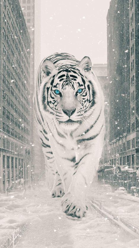 The White Tiger Iphone Wallpaper In 2020 Tiger Wallpaper Tiger Pictures White Tiger