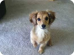 Image Result For Pomeranian Dachshund Mix Pomeranian Mix Puppies Pomeranian Mix Dachshund Mix