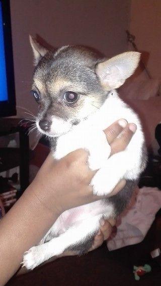 Gorgeous Female Chihuahua Chihuahua Cute Animals Chihuahua Dogs