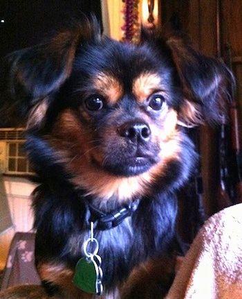 Black And Tan Yorkinese Dog Breeds Yorkie Mix Black Yorkie Poo