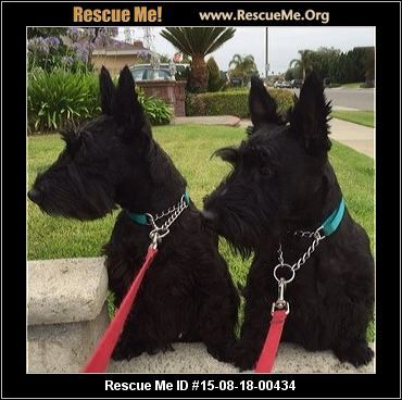 Scottish Terrier Rescue California Cute Dogs Breeds Terrier Rescue Scottish Terrier