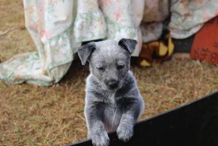 Cattle Dog Pups Dogs Puppies Gumtree Australia Toowoomba
