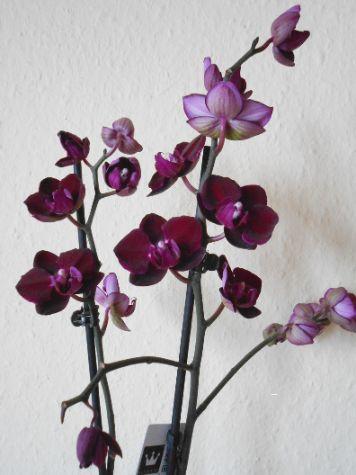 Black Jack Phalaenopsis Anggrek Bulan Berwarna Gelap Black Jack