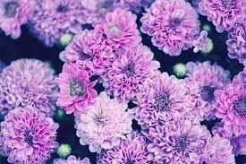 Image Result For Get Well Rose Flower Written In Korean Chrysanthemum Meaning Chrysanthemum Flower November Flower