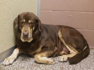 Adopt Moose Aka Yuma On Labrador Retriever Dog Adoption