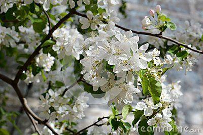 Blooming Apple Tree Tender White Flowers In Spring City Greening Blooming Apples White Flowers Apple Tree