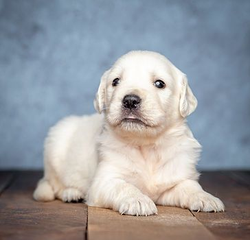 Available Puppes White Golden Retrievers Crystal Cream Goldens
