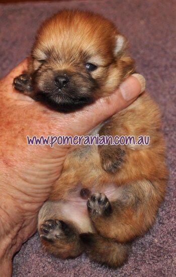 Orange Pomeranian Puppy Pomeranian Puppy Cute Pomeranian Cute Puppies