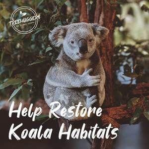 koala látomás