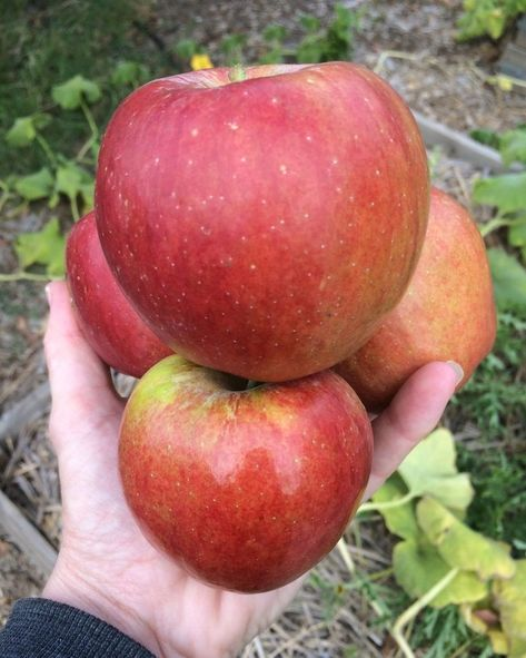 @thelinkssite posted to Instagram: Some more yummy jonathan apples!🍎 . . . #apples #apples🍎 #appletree #appleaday #appleharvest #autumngarden #autumnharvest #fruittree #fruittrees #homegrownapples #mygarden #mygardentoday #growyourownfood #growsomethinggreen #orchard #gardeningaustralia #epicgardening #urbangardenersrepublic #vegetablegarden #fruitgarden #homegrownfood #homegrown #cottagegarden #growwhatyoueat #greenthumb #urbangardening #growyourown #ilovegardening #plantsarefriends