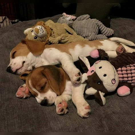 Examining The Important Factors When Taking Out A Pet Health Care Insurance Policy Beagle Mix Puppies, Beagle Dog, Cute Puppies, Cute Dogs, Animals And Pets, Baby Animals, Cute Animals, Cute Beagles, Dog Control
