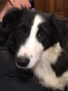Adopt Esmee On Border Collie Husky Mix Australian Shepherd