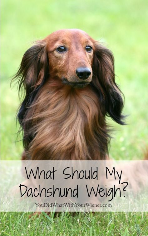 What Should My Dachshund Weigh Dachshund Dachshund Breed
