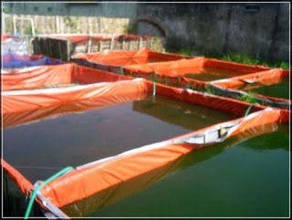 Beternak Udang Sungai