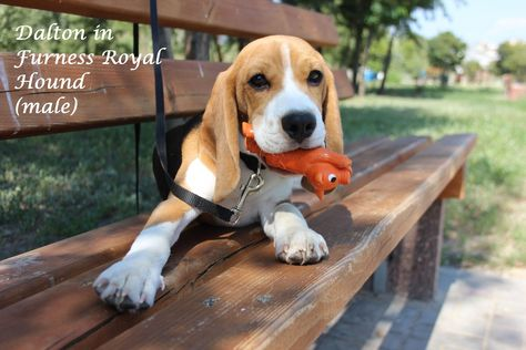 This Toy Is Mine Cute Beagle Baby Beaglepuppyfunny Very