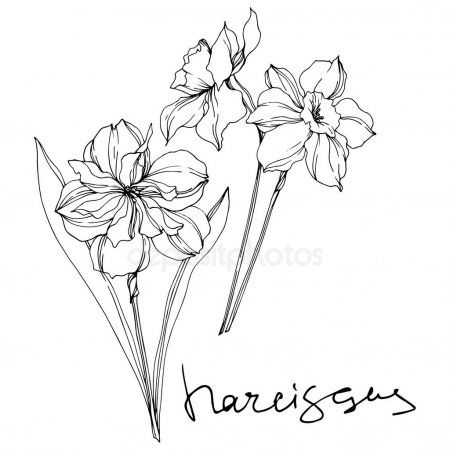 Vector Narcissus Floral Botanical Flowers Black And White Engraved Ink Art Iso Sponsored Bota Narcissus Tattoo Name Flower Tattoo December Flower Tattoo