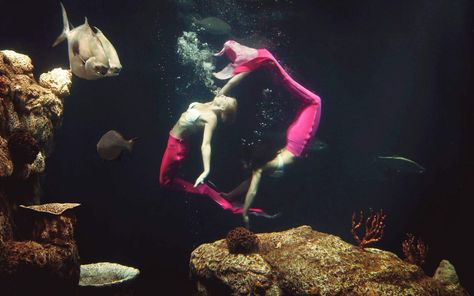 The tail-finned dancers that drew a record number of visitors to the South Carolina Aquarium last year are returning to the Charleston attraction this spring.