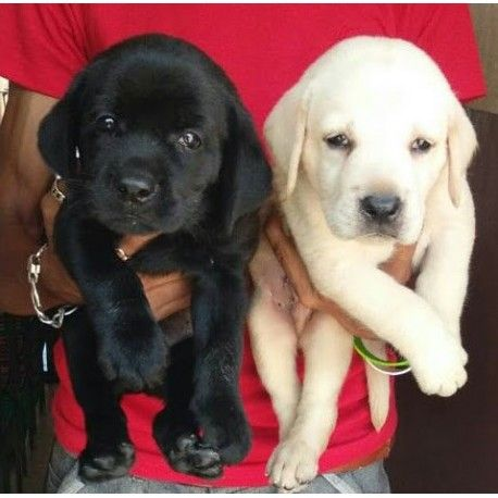 Labrador Retriever Puppies For Sale Images Of Lab Dog Puppy Price Www Industrious Info In 2020 Labrador Retriever Labrador Puppies For Sale Labrador Retriever Puppies