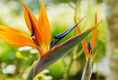 Bird Of Paradise Plant Care Indoor And Outdoor Birds Of Paradise Birds Of Paradise Plant Paradise Plant Birds Of Paradise