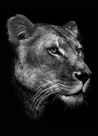 Black Lioness Female Lion Lion Head Tattoos Lion Pictures