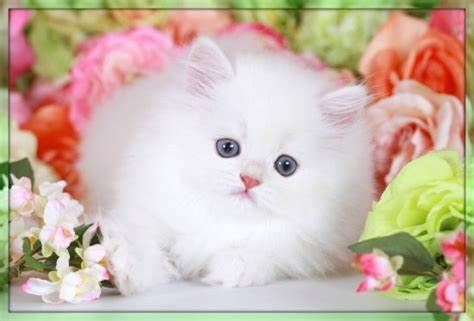 Remarkable Persian Cat Ideas White Persian Kittens Persian Kittens White Fluffy Kittens