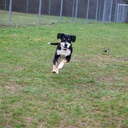 Jackson Mi Rottweiler Meet Peabody A Dog For Adoption Dogs