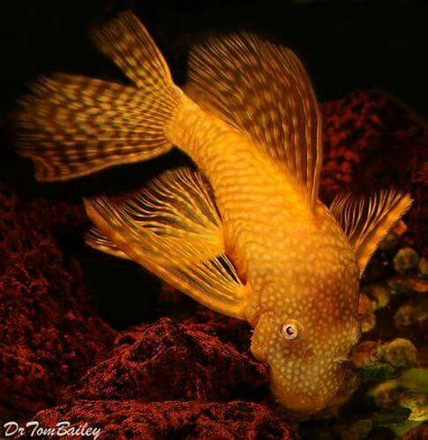 Albino Longfin Bristlenose Pleco Adorable Pleco Fish Fish Tropical Fish