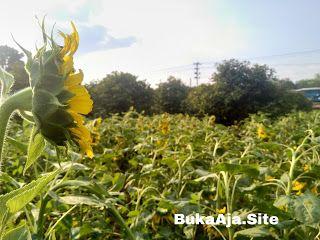 Taman Bunga Matahari Cirebon