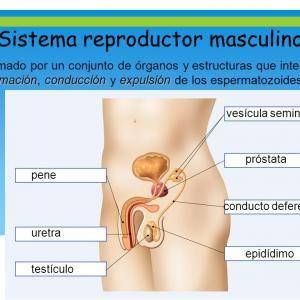 Aparato Reproductor Masculino Y Sus Partes Aparato Reproductor Sistema Reproductor Biología