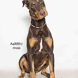 Pet Card Doberman Pinscher Pets Doberman