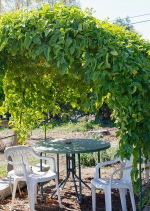 Passion Fruit Arbor Trellis Plants Growing Passion Fruit Garden Vines