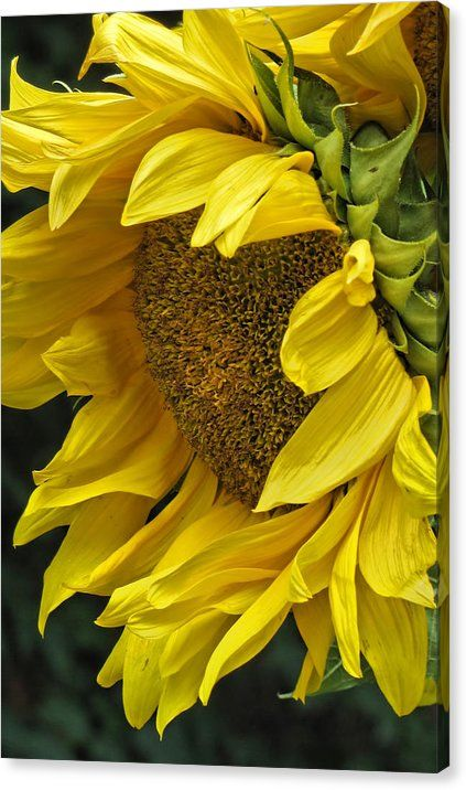 Sunflower Canvas Print Canvas Art By Ann Bridges Oil Painting Flowers Sunflower Art Sunflower Pictures