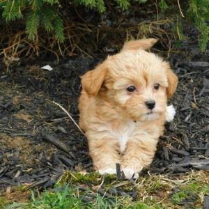 Trey Havapoo Puppy 595765 Puppyspot Havapoo Puppies Puppies Puppy Facts