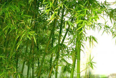 Zone 7 Bamboo Varieties