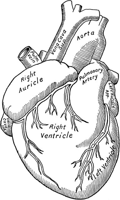 heart anatomy - medical transcription must ❤ - recipes The Human Body, Life Hacks For School, School Study Tips, Medical Students, Nursing Students, Doctor Drawing, Nurse Drawing, Medical Drawings, Nursing School Notes