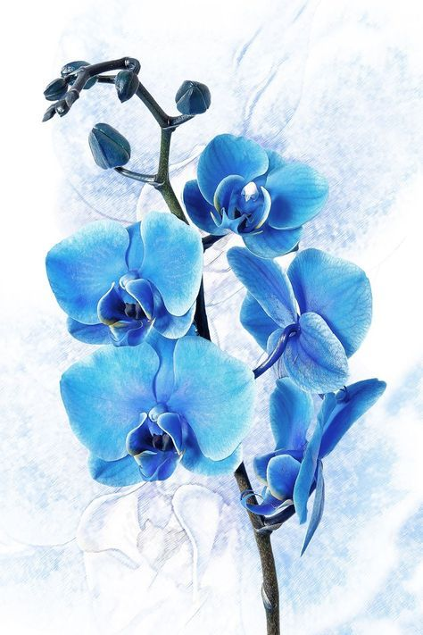 Blue Orchid On White Background Large Digital Art Printed On
