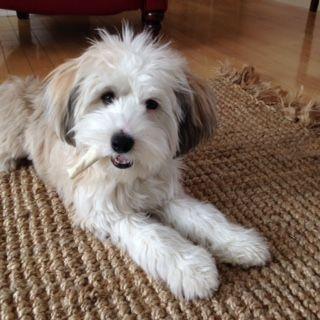 Tibetan Terrier Puppies For Sale Minneapolis Mn Terrier Puppies