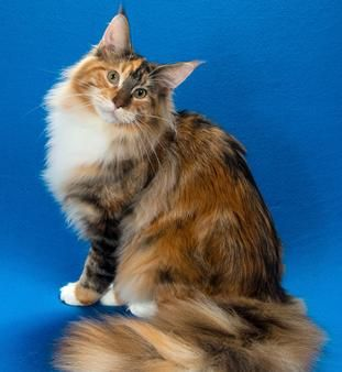 Pin On Calico Cats And Torties Did You Know Almost All Calicos Are Female