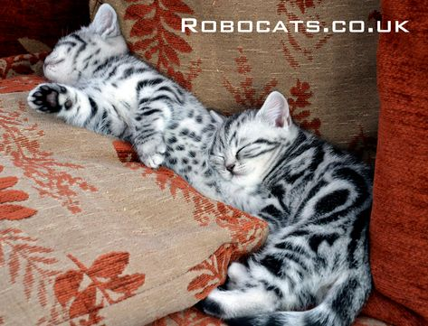 Silver Tabby And Silver Spotted British Shorthair Cats Are Signed Up To A Book Deal Silver Tabby Cat Cats British Shorthair Cats