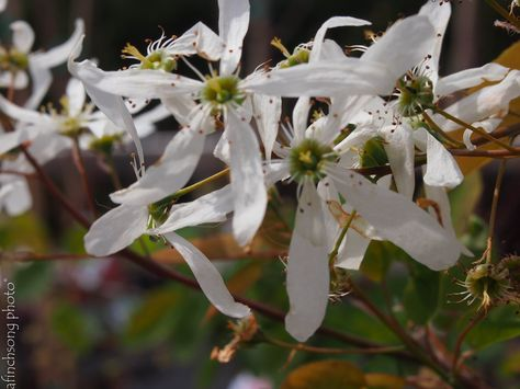 Amelanchier laevis 'Spring Flurry'  SPRING FLURRY SERVICEBERRYdeciduous flowering tree                sun to part shade                    Mature size: 28'Hx20'W             Upright oval                        SPRING: White flowers from pink buds                               SUMMER: Sweet purplish black berries                                      FALL COLOR: Orange                           FOLIAGE: Medium green              Attracts birds              Wet to dry soilNative