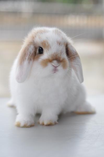 Cute lop-eared bunny!