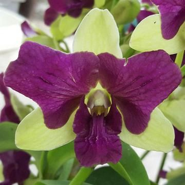 Dendrobium Parrot 3 Lips Dendrobium Orchids Orchids Cattleya Orchid